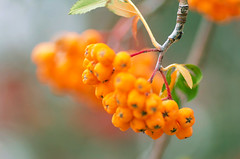 Sizzle (~DGH~) Tags: 2018 alberta canada october autumn berries fall garden macro orange smcpentaxdfamacro100mmf28wr