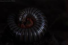 Millipede (pbertner) Tags: millipede rainforest southamerica cali yotoco reserve colombia valledelcauca