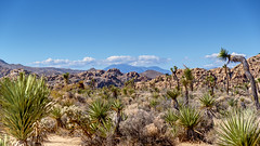 Joshua Tree National Park, California (mon_T) Tags: wüste desert steppe braun brown stones steine joshua kaktus strauch himmel sky blue blau weed cactus felsen landschaft baum berg tier