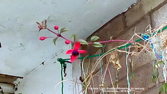 Fuchsia 'Lady Boothby' flowering on balcony 5th November 2018 001 (D@viD_2.011) Tags: fuchsia lady boothby flowering balcony 5th november 2018