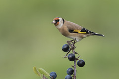 Goldfinch (Carduelis carduelis). (Bob Eade) Tags: birds goldfinch sloe blackthorn eastsussex sussex lewes finch avian bush autumn nikon nature 300mmf28
