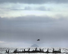 Cormorants Heron Ailsa Craig (g crawford) Tags: crawford ayrshire northayrshire westklibride seamill beach seamillbeach bird birds ailsacraig clyde firthofclyde heron cormorant