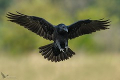 Kruk, Common Raven (Corvus corax) ... 2018r (Rafal Szozda) Tags: birds nature animals wildlife colors meadow flight black nikon nikkor lens lubuskie poland