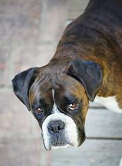 Warrior Strong (Painful, slow internet:() Tags: ddogchal boxer dog kahn