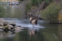 Bull Elk Chasing Cow In Bear Creek (fethers1) Tags: elk bullelk evergreen evergreenlake coloradowildlife