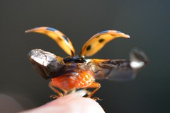 Transformers! (suekelly52) Tags: ladybird ladybug wings flight harlequin insect