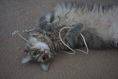 Memories - Tinker (Explore) (lcams) Tags: kitten toys happycaturday