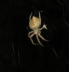 Nocturnal orbweaver (Bug Eric) Tags: animals wildlife nature outdoors arachnids arachtober arachnida araneidae araneae spiders orbweavers orbweaver alamo texas usa female northamerica september272018 eriophoraedax