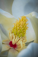 Marvelous Magnolia (FotoGrazio) Tags: flowers fragile nature flower fotograzio delicate topazimpression creative botany photoeffect macro botanical closeup painterly mothernature waynestevengrazio beautiful waynegrazio creativity grazio magnolia art waynesgrazio macrophotography phototoart photomanipulation lovely magnoliaflower magnoliablossom blossom floral scent
