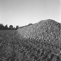 It's turnip time again! (25/8) Tags: rüben rolleicord rolleicordva fomapan ilfotecddx