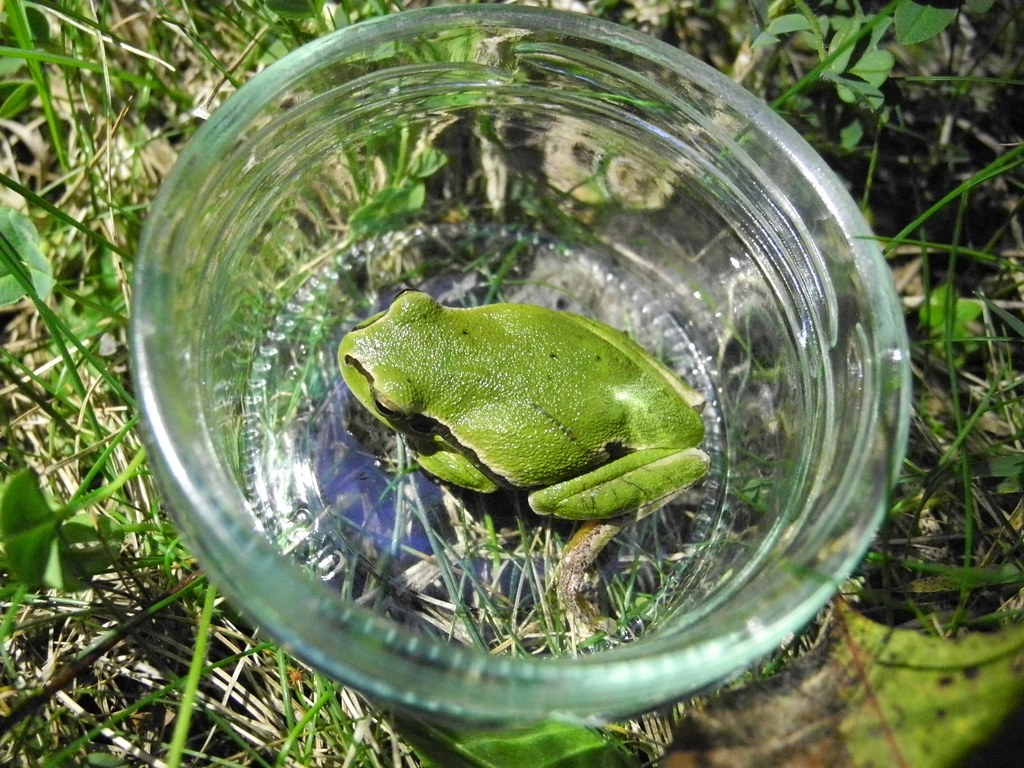 фото: Восточная квакша / Hyla orientalis / Oriental Tree Frog (Shelkovnikov's Tree Frog) / Дървесница / Laubfr