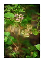 2018/9/14 - 4/15 photo by shin ikegami. - SONY ILCE‑7M2 / Lomography New Jupiter 3+ 1.5/50 L39/M (shin ikegami) Tags: macro マクロ 紫陽花 flower 花 井の頭公園 吉祥寺 summer 夏 sony ilce7m2 sonyilce7m2 a7ii 50mm lomography lomoartlens newjupiter3 tokyo sonycamera photo photographer 単焦点 iso800 ndfilter light shadow 自然 nature 玉ボケ bokeh depthoffield naturephotography art photography japan earth asia