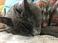 Sleeping Beauty AKA Argent (sjrankin) Tags: 14october2018 edited animal cat floor livingroom kitahiroshima hokkaido japan closeup argent sleep tunic couch