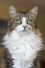 Regal Feline (vtom61) Tags: cat green eyes longhair calico sonya7riii sonyzeissfe55mm18