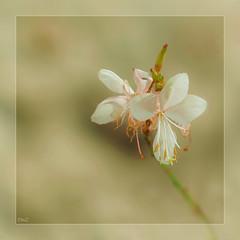 Apparition !! (thierrymazel) Tags: bokeh pdc dof profondeurdechamp fleurs flowers blossoms pastel carré cadre bordure sigma 105 nikon 5300