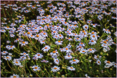A sea of Scentless Mayweed (Julie (thanks for 8 million views)) Tags: tripleurospermuminodorum scentlessmayweed topazglow 100flowers2018 flora sliderssunday postprocessed canoneos100d wexford ireland irish beautifulnature flowers