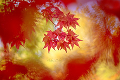 Autumn Fire (Jacky Parker Photography) Tags: autumn2018 autumncolours autumntrees leaves foliage fall2018 fallcolors redleaves vibrant vitality seasonschange season freshness fragility beautyinnature japanesemaple japaneseacer acerpalmatum naturephotography nikond750 uk