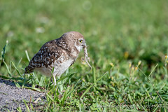 Now What Am I Supposed To Do With This? (TNWA Photography (Debbie Tubridy)) Tags: burrowingowl owl owlet youngowl burrow grass lizard dinner wildlife athenecunicularia nature eating natural habitat environment wild behavior activity learning florida bird birdofprey raptor spring outdoors debbietubridy tnwaphotography