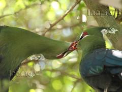 turaco de Guinea (Marina-Inamar) Tags: ave verde pareja amor cariño mimos zoo temaiken buenosaires argentina turacodeguinea tauracopersa animal