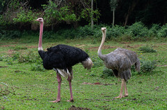 Male and female ostrich (JohnMawer) Tags: entebbe zoo ostrich