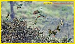 (Species #1933) Vulneable GOLDEN-PLUMED PARAKEET - [ Termales Del Ruiz Hotel, Colombia ] (tinyfishy's World Birds-In-Flight) Tags: leptosittaca branickii golden plumed parakeet colombia