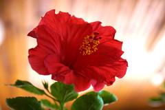 L'hibiscus est rentré pour l'hiver, (guy dhotel) Tags: fleur flower hibiscus red rouge