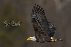 Wings Up... (ThruKurtsLens.com) Tags: baldeagle eagle fallcolors fish flying kurtwecker nature naturephotographer talons thrukurtslenscom wildlifephotographer wildlifephotography