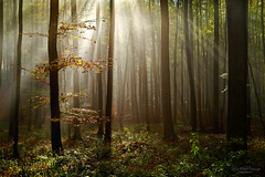 Silent forest (Rita Eberle-Wessner) Tags: forest wald woods baum tree bäume trees buchen licht sonnenstrahlen sunrays sunbeams stämme trunks baumstämme laub leaves laubwald herbst autumn fall odenwald