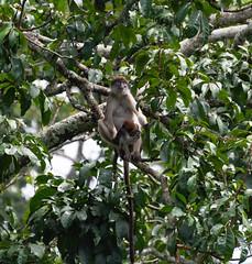 Red Colobus monkey (JohnMawer) Tags: fortportal uganda africa monkey redcolobus