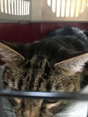 Lots of Stress (sjrankin) Tags: 2november2018 edited animal cat tigger closeup carrier catcage catcarrier blurry bars kitahiroshima hokkaido japan vet vetclinic