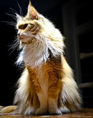 IMG_2031-1 (Helene Bassaraba) Tags: mainecoon coth5 bestofcats catmoments vg~catsgallery