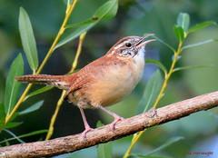 Carolina Wren (Lois McNaught) Tags: hermitthrush bird avian nature wildlife hamilton ontario canada