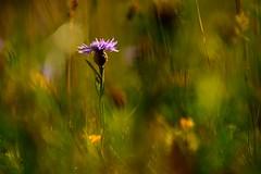 Centaurea (iban pagalday) Tags: centaurea scabiosa zelaia pradera pirinioa pirineo pyrenee natura naturaleza nature flor lorea flower