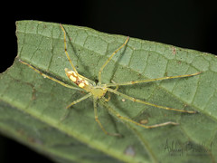 Green Beauty (zxgirl) Tags: 60mmomzd arachnida arthropods costarica em5ii animals macro nature spiders travel trip turrialba cartago cr p3211808 bug bugs spider animal animalia arthropod arthropoda chelicerate chelicerates chelicerata arachnid arachnids sparassidae huntsman huntsmanspider anaptomecus