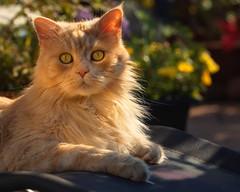 Monday ? How horrible .... (FocusPocus Photography) Tags: linus katz kater cat chat gato tier animal haustier pet garten garden liegestuhl deckchair