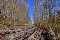 Backwoods Hiking In Colorado (randyandy101) Tags: colorful autumn fall hiking biking colorado aspen trees forest shadows blue sky trail path walking camping picnicking rocky mountains southwest leaves golden yellow colors