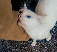 blue eyes white cat old spoiled seduce (Ahmed N Yaghi) Tags: cat old white blue eyes seduce spoiled leg wipe rubbing