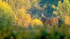 Il brame! (philfoto72) Tags: animaux cervidés sauvages cerf buissonnet hautesaintonge