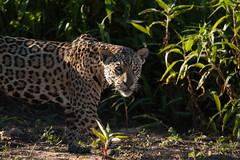 _MG_1450 (2).jpg (richard k hurrell) Tags: wildlifephotography pantheraonca wildlife richardhurrell nature brazil cuiabáriver bigcat jaguar southamerica mammal pantanal photography