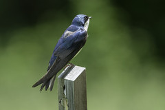 Tree Swallow (Kelly Colgan Azar) Tags: tachycinetabicolor treeswallow june schodackislandstatepark newyork