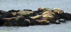 Harbor Seals with Pups (scott_clark) Tags: canada novascotia brierisland harborseal phocavitulina marinemammal bayoffundy ocean mammal wildlife nature animals outdoors water tide sea rocks