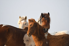 Three Generations by Julie Cavallio (Maryland DNR) Tags: 2018 photocontest wildlife mammal ponies spring assateague
