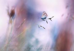 Bläuling (Markus1224) Tags: schmetterling butterfly bläuling sunset nikon d750 lycaenidae blue makro macro badenwürttemberg germany schwäbische alb bokeh colours minimalism high key