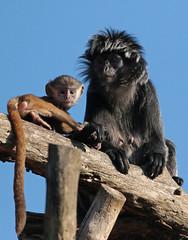 javan langur apenheul 094A0438 (j.a.kok) Tags: animal aap asia azie mammal monkey langur langoer javaanselangoer javanlangur apenheul primate primaat zoogdier dier