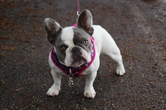 Coco (Webfoot5) Tags: dog dogs dogsonwalks dogzonwalkz frenchbulldog