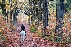 Autumn delight - Het bos bij Rhenen (Cajaflez) Tags: wood bos autumn autun herfst herbst bladeren leafs horse paard cheval pferd bomen trees arbres baumen amerikaanseeiken