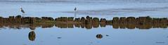 Hésitation (deplour) Tags: piquets division hésitation pluvieurs sandpipers reflets reflections