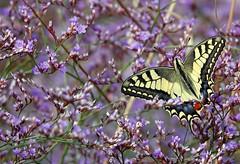 I colori della palude - The colors of the swamp (Jambo Jambo) Tags: padule palude swamp grosseto toscana tuscany italia italy marsh diaccia diacciabotrona riservanaturalediacciabotrona castiglionedellapescaia maremma maremmatoscana maremmacountryside jambojambo sonydscrx10m4 farfalla butterfly fiori flowers macaone papiliomachaon oldworldswallowtail limonio statice limoniumcomune limoniumserotinum commonsealavander