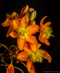 Bulbine frutescens, native of South Africa (Margret Maria Cordts) Tags: winner alt