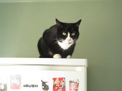 Cool cat (kingsway john) Tags: blueberry cat lack white fridge